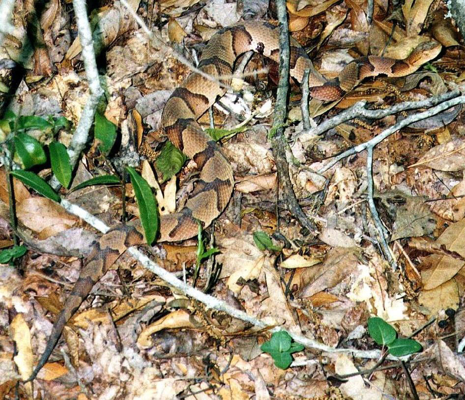 copperhead in leaves