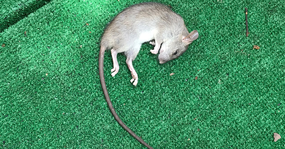 Image of a dead rat found in a client's yard in University Park, Texas