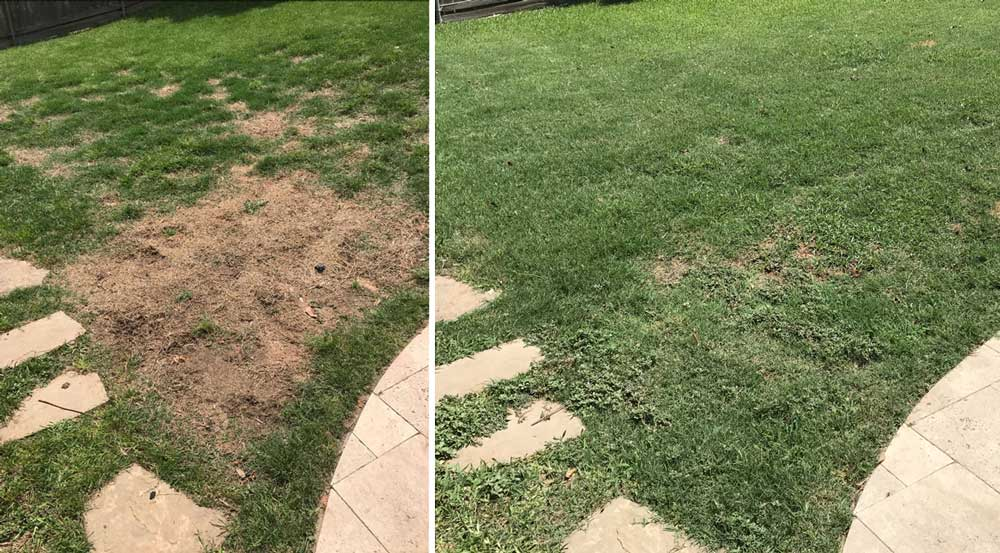 brown grass spots caused by dog urine showing - before, and 6 weeks after treatment